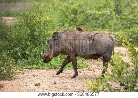An Adult Warthog Crosses A Forest Path With An Oxpecker On Its Back.