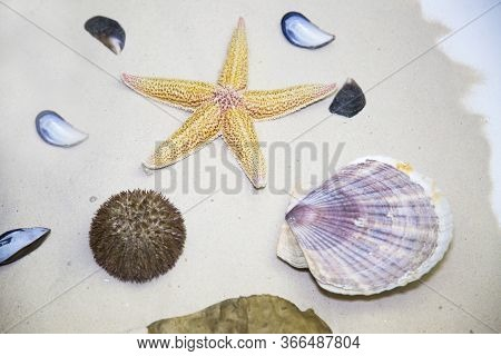 Sea Stars, Shells Of Beautiful Clams , Sea Urchin Bright Color On The Background Of White Sand, Mari
