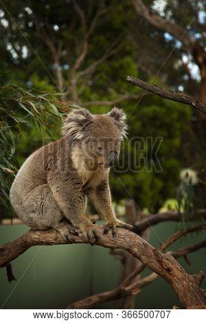 Cute Koala standing on a branch tree in Victoria in Australia
