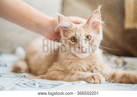 Woman Stroking Funny Curious Young Red Ginger Maine Coon Kitten Cat Sitting At Home Sofa. Coon Cat,