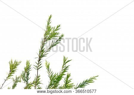 Tropical Plant With Leaves Branches On White Isolated Background For Green Foliage Backdrop And Copy