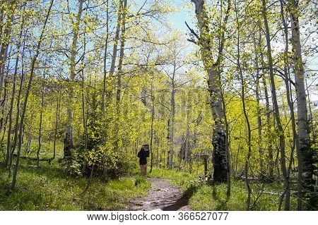 Woman Hiking Colorful Aspen Grove In The Colorado Mountains. Us Forest Service.