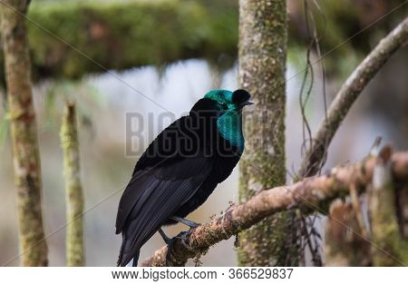 Beautiful Bird-of-paradise Of New Guinea With Long Tail And Beak Aeting Tropical Fruit