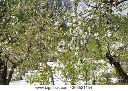 Close Up Of The Frozen Branches And Leaves  Covered In Snow In Lithuania. Europe, 12 May 2020. Clima