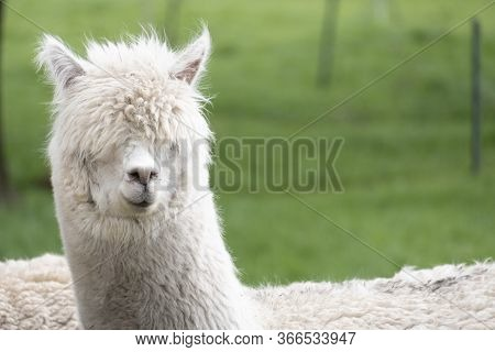 White Alpaca, A White Alpaca In A Green Meadow. Selective Focus On The Head Of The Alpaca