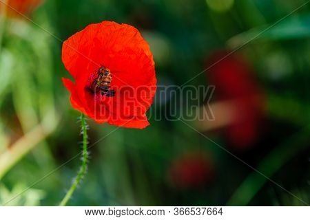 Bright Red Poppy Flowers In Summer. Bees Collect Nectar. Beauty