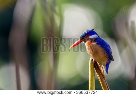 A Malachite Kingfisher. A Brightly Colored Young Alcedo Male Perched On Reed