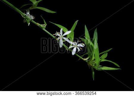 Two White Chlorophytum Comosum Flowers In A Long Branched Inflorescence. Each Flower Has Six Three-v