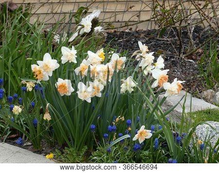 White Narcissuses Flowers On Thr Flower Bed