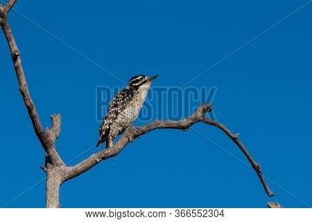 Downy Woodpecker Perched On The Highest Deadwood Branch Of The Tree Against A Blue Clear Sky.