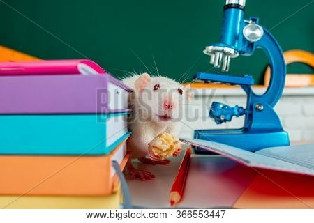 Laboratory Rat. Funny White Rat Mouse In Classroom. White Test Rat Sitting On Microscope. Laboratory