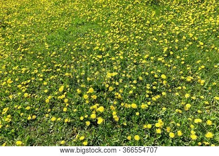 Meadow With Yellow Dandelions. A Whole Field Of Yellow Dandelions