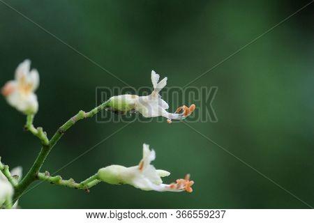 Yellow Buckeye Tree Flower, Aesculus Flava