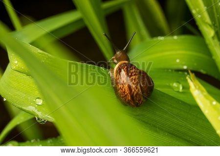 Big Grape Snail In Shell Crawling, Summer Day In Garden, A Common Garden Snail Climbing On A Stump,