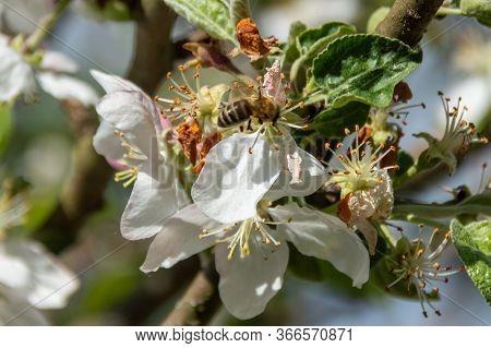 Bee In Apple Flower Gathering Pollen Nectar Honey. Bee Pollinating Apple Tree Flowers