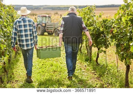 Harvesters carry a crate of grapes at the grape harvest in the vineyard