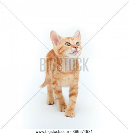 Red striped kitten plays, isolated on white background. Adorable tabby baby cat. Animal. Cute young pet.