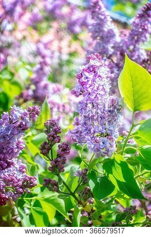 Lilac Blossoms In Spring On Sunny Day. Close Up.