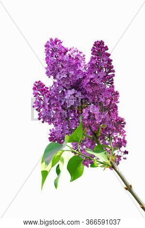 Inflorescences Of Blooming Lilac With Leaves On A Small Twig.lilac Twigs Isolated On White