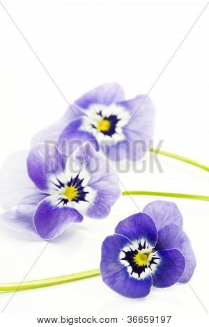Three viola cornuta flowers