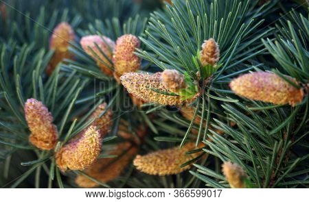 Young Branches Of A Spruce Tree. Blooming Spruce. Spruce In Spring. Close Up. Selective Focus.