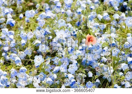 Red Flower Growth Among Blue Nemophila Background (concept For Differentiate From Other, Leader Or U