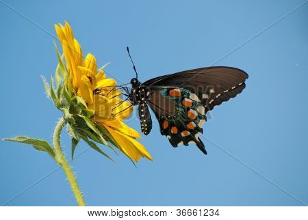 Pipevine Swallowtail butterfly feeding on a wild Sunflower