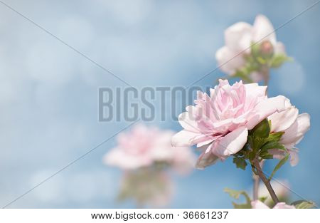Dreamy image of light pink Althea flowers against blue sky