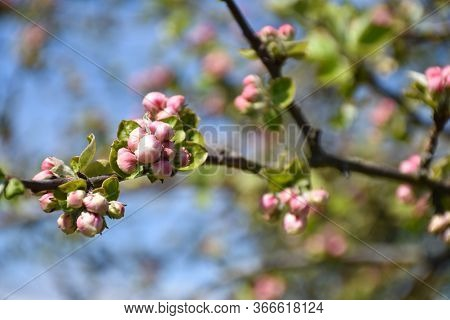 Pink Apple Tree Flower Buds On A Twig