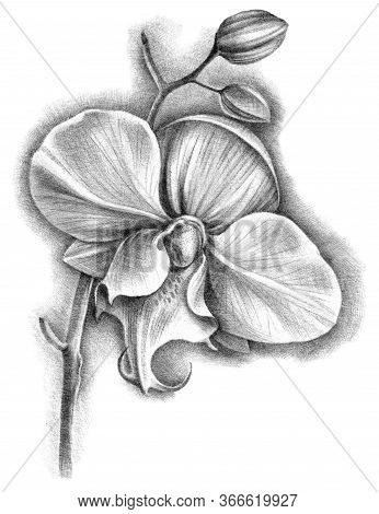 Hand Drawn Botanical Illustration Of Phalenopsis Orchid With Flower And Buds. Detalized Sketch By Bl