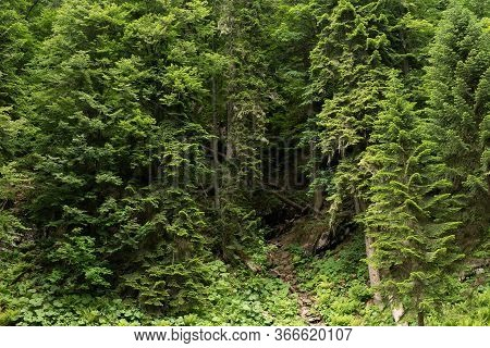 Subtropical Rain Green Forest With Many Evergreen Trees