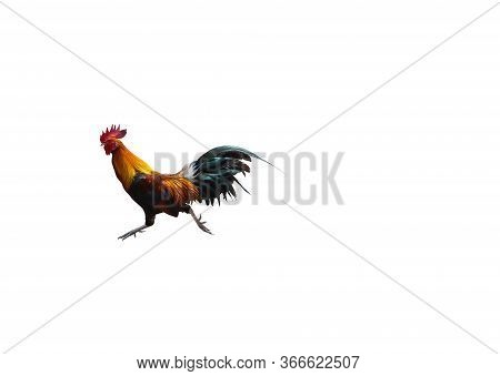 Running Hen . Rooster Or Chicken Jumping On To The Air. Black Rooster Or Chicken. Water Color Painti