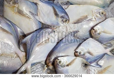White Pomfret, Fish .fresh White Pomfret Fish In Market Preserved With Salt And Ice .fresh Fish On I