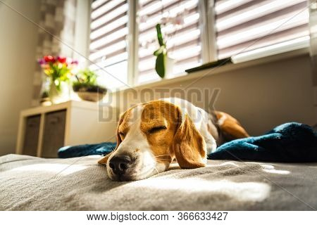 Beagle Dog Tired Sleeps On A Couch In Bright Room. Sun Lights Through Window. Dog Resting In Sunny R