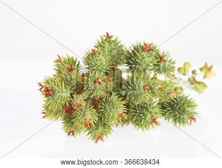 Castor Seeds, Castor Beans - Ricinus Communis