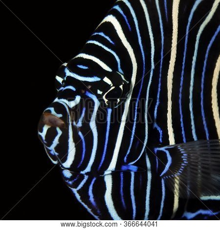 Close-up Of A Juvenile Emperor Angelfish (pomacanthus Imperator). Tofo, Mozambique