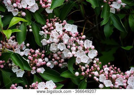 Mountain Laurels Are Now In Bloom In The Virginia Blue Ridge Mountains