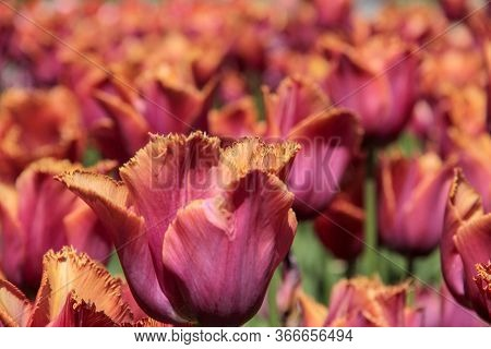 Pink And Orange Tulips Against Green Foliage. Pink Tulips Field. Flowers In Spring Blooming Blossom