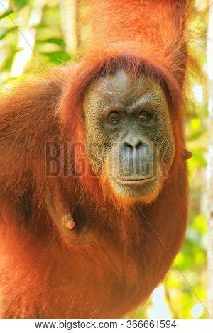 Portrait Of A Female Sumatran Orangutan (pongo Abelii) In Gunung Leuser National Park, Sumatra, Indo