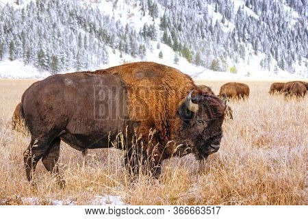 Male Bison Standing In A Field During Fall, Grand Teton National Park, Wyoming, Usa