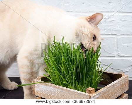 Cat Eating Grass, Beautiful Cream Tabby Cat Eating Fresh Grass On Green Background. Cat Is Eating Fr