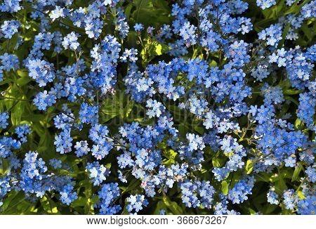 Beautiful Blue Shallow Forget-me-not Flowers (myosotis Sylvatica) - On Flowerbed In Garden - Delicat
