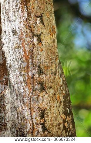 Colony Of Proboscis Bats (rhynchonycteris Naso) On A Tree