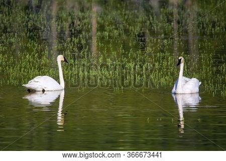 Trumpeter Swans (cygnus Buccinator) In Yellowstone National Park, Wyoming, Usa
