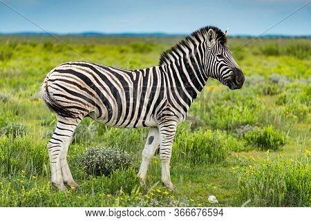 Zebra On Green Bush Field In Etosha National Park, Namibia, Africa. Wildlife Animal In Savannah Safa