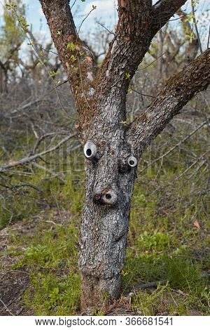 Lonely Tree In The Garden With A Face, Living Tree, Strange Shape, Imaginary Figure