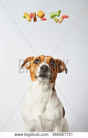 Many Colorful Dog Treats Circling Over The Dog's Head Imitating Her Thoughts And Desires, Thoughts A