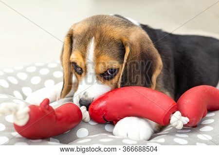 Beagle Puppy Lies On A Pillow And Nibbles A Toy At Home. Lifestyle. Close-up