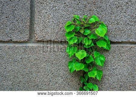 Green Leave Ivy Covered Concrete Brick Wall, Texture Background. Plant Wall For Air Purifying. Green
