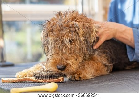 Grooming Puppy Of Welsh Terrier Dog By Professional Groomer While The Dog Is Looking At A Grooming B